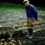 Mondo contadino della Valle Stura - raccolta delle patate - Foto di Gianni Ottonello
